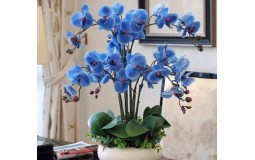 蝴蝶兰花苗 鲜花 四季植物 室内客厅盆栽 绿植花卉