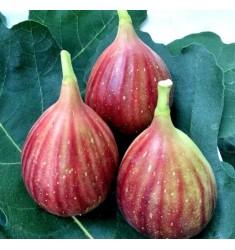 新鲜无花果3斤 新鲜水果红皮鲜无花果新鲜