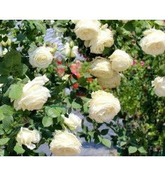 七彩玫瑰花苗盆栽植物花卉蓝色妖姬四季蔷薇月季花苗 嫁接多色玫瑰2棵+盆+肥料+生根粉