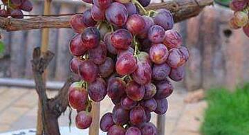 阳台小果园:家庭阳台适宜水果种植品种推荐及技巧