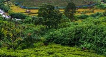 家庭分散小规模种植茶园的出路在哪里?以下几点要做好,值得收藏