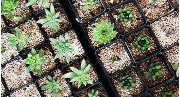 苗木盆栽成为家庭花卉消费的新宠