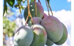 攀枝花凯特芒果 带箱5斤/箱一级 单果250-1000g 热带水果京东生鲜大青芒